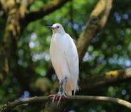 egret немногая Стоковое Изображение
