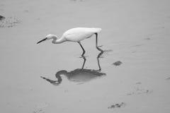 egret немногая Стоковые Фотографии RF