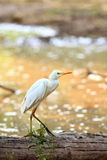 egret общего скотин Стоковые Фото