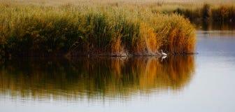 Egret озером Kanas в Синьцзян стоковые изображения