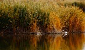Egret озером Kanas в Синьцзян стоковое фото