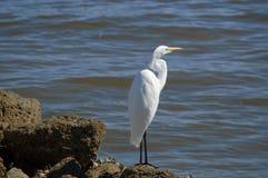 Egret океаном Стоковое Изображение RF