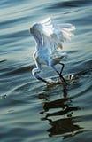Egret охотится стоковая фотография rf