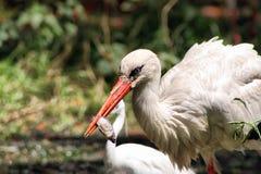 Egret охотясь рыба Стоковое фото RF
