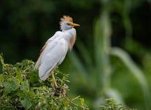 Egret скотин во Флориде стоковое фото rf