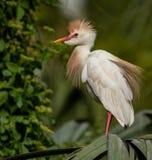 Egret скотин во Флориде стоковая фотография rf