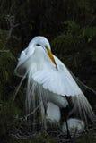 Egret прихорашиваясь в гнезде, Флориде Стоковые Изображения RF