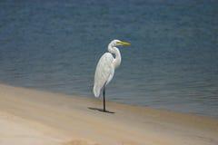 egret птицы большой Стоковое Изображение