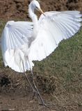 egret птицы большой Стоковое фото RF