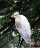 Egret птицы Стоковое фото RF