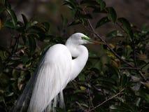 Egret размножения мужской большой стоковые изображения
