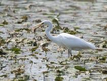 Egret рыбной ловли Стоковое Фото