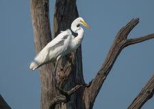 Egret садится на насест в дереве для того чтобы поохотиться лучше Стоковое Фото