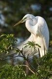 egret скотин большой Стоковая Фотография RF