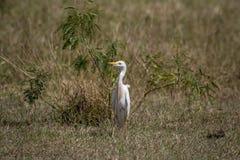 Egret скотин в Браунсвилле, TX стоковые фотографии rf