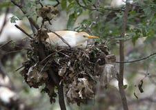 Egret скотин в гнезде Стоковая Фотография