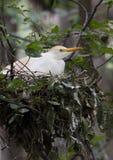 Egret скотин в гнезде Стоковое Изображение