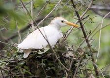 Egret скотин в гнезде Стоковые Фото