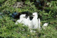 Egret скотин вложенности Стоковое Изображение