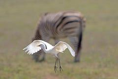 Egret скотин в полете Стоковые Изображения