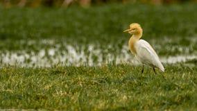 Egret скотин в разводить оперение - смешную крышку стоковые фото