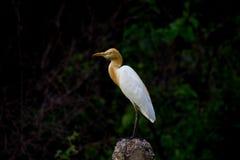 Egret скотин в саде в своей естественной среде обитания стоковое изображение rf