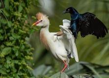 Egret скотин в Флориде стоковое изображение