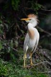Egret скотин в Флориде стоковые изображения