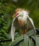 Egret скотин в Флориде стоковое изображение rf