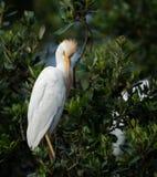 Egret скотин в Флориде стоковые фото