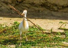 Egret скотин держа большую ветвь дерева, птицу собирая ветви, сезон размножения птицы весной, сезонное животное поведение стоковые фото