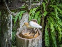 Egret скотин ест в парке стоковое изображение
