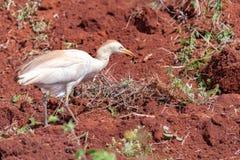 Egret скотин идя вдоль свежо вспаханной земли стоковое фото rf