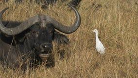 Egret скотин и буйвол накидки в masai mara, Кении сток-видео