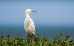 Egret скотин, наблюдая окрестности Стоковые Изображения