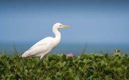 Egret скотин, на береге океана Стоковые Изображения