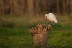 Egret скотин на журнале Стоковое фото RF