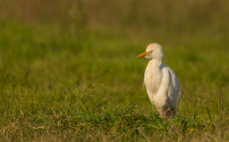 Egret скотин на лужке Стоковые Фото