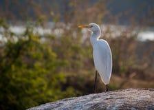 Egret скотин на солнечный день стоковые фото