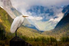 Egret скотин Новой Зеландии Стоковая Фотография