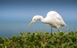 Egret скотин, охотник в траве Стоковая Фотография