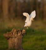 Egret скотин принимая  Стоковые Фотографии RF