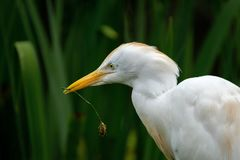 Egret скотин пробуя построить гнездо стоковая фотография