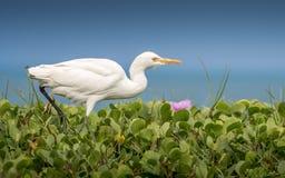 Egret скотин, прогулка вдоль банка Стоковые Изображения