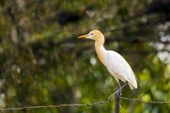 Egret скотин распологая на предпосылку blured колючей проволокой стоковое фото rf