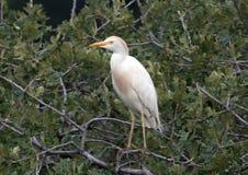 Egret скотин садить на насест в дереве Стоковая Фотография