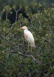 Egret скотин садить на насест в дереве Стоковые Изображения RF