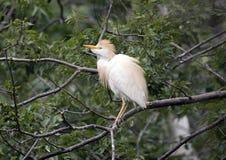 Egret скотин садить на насест в дереве Стоковое Изображение RF