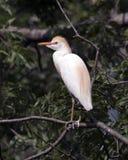 Egret скотин садить на насест в дереве Стоковые Фотографии RF
