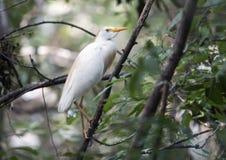Egret скотин садить на насест в дереве Стоковые Изображения